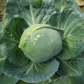 圆白菜(Cabbage Ball)