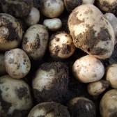 新鲜土豆(红皮&黄皮Fresh Potato)