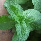 香薄荷(Strong-smell Mint)