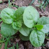 木耳菜(Malabar spinach)