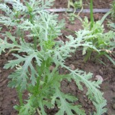 蒿子杆(Garland Chrysanthemum)