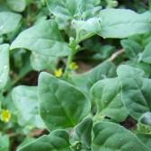 蕃杏(New Zealand spinach)