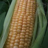 甜玉米(Fresh Sweet Corn)