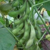 毛豆(Fresh Soybean)