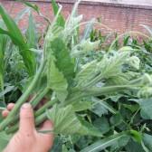 南瓜嫩秧(Sprout of Pumpkin)