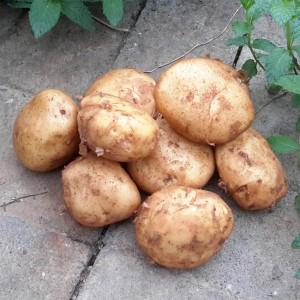 黄皮土豆(Yellow-skin Potato)