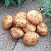 黄皮土豆(Yellow-skin Potato)