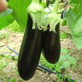 长茄子(Long Eggplant)