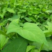 蕃薯叶(Sweet Potato Leaves)